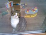 bonny à la fenêtre - Shiny maine coon Mâle (8 mois)