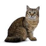 Chat  - Lynx Domestique (Pixie Bob)  (0 mois)