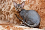 Chat  - Peterbald  (0 mois)