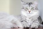 Un chat Sibérien gris aux yeux verts