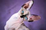 Un Sphynx aux grands yeux bleus