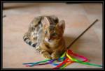 Chat Chaos avec son jouet - Bengal Femelle (0 mois)