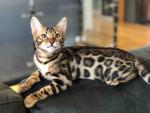 Chat Osiris - Bengal Mâle (4 mois)