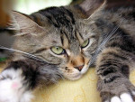 Chat Maine coon - Maine Coon Femelle (3 ans)