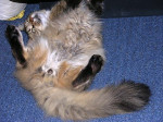 Chat Giovanny chahutte - Maine Coon Femelle (0 mois)