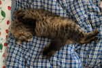 Chat Zane - Maine Coon Femelle (5 ans)