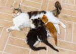 Une chatte Maine Coon tricolore allaite ses petits