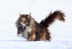 Un beau Maine Coon tricolore court dans la neige