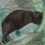 Le chat est dans le sac - Chartreux