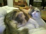 Chat Croiser persan  Fifi - Persan Femelle (0 mois)