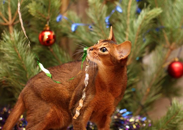 Abyssin jouant avec les guirlandes de Noël