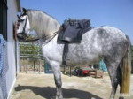 Cheval Cosy - Femelle (1 an)