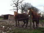 Cheval Cerise et Carotte(qui boude) - Femelle (Vient de naître)