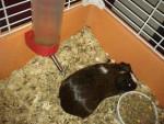 oréo - Cochon d'inde à poil dur Mâle (6 mois)