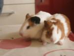 manolito - Cochon d'inde à poil lisse Mâle (3 ans)