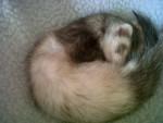 Pepper - Furet (1 an)