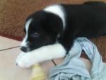 Timmy - Furet Mâle (3 mois)