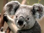 Genette Koala - Femelle (13 ans)