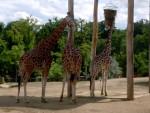 Girafe Girafe -  (Vient de naître)