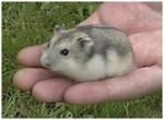 Hamster Minù - Femelle (2 ans)