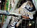 Jaguar Jaguar -  (Vient de naître)