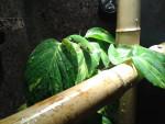 Lézard Kermit - Femelle (1 an)