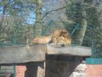 Sleeping Lion - Lion Mâle