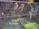 Oiseau coco y rocky - Femelle (3 mois)