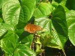 butterfly - Papillon (Autre)