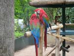 Perroquet perroquet -  (Vient de naître)