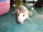Rat Fripouille - Femelle (2 ans)