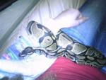 Serpent Persephone - Femelle (2 ans)