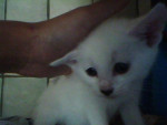 Chat pas de nom -  Femelle (2 mois)