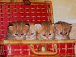 Chat bébés golden -   (Vient de naître)
