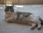 Chat indiana mon petit amour disparu -  Femelle (0 mois)