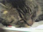 Chat Mimi -   (Vient de naître)