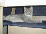 Chat Roméo-Siamois -   (Vient de naître)