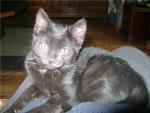 Chat capucine -  Femelle (0 mois)