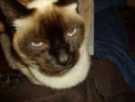 Chat Minette, siamoise -   (0 mois)