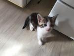 Chat bouchon -  Mâle (1 mois)