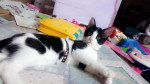 Chat Maylie -  Femelle (4 mois)