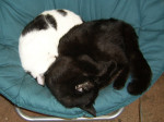 Chat Damian and Domino -   (Vient de naître)